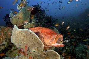 креветка чистит зубы рыбе